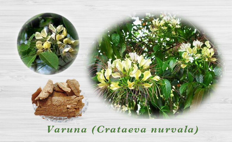 Varuna (Crataeva nurvala)