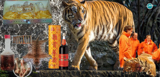 China's New Favorite Tonic – Tiger Bone Wine